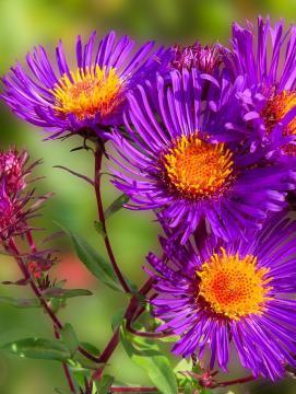 Photo de 4 asters violettes (fleurs)